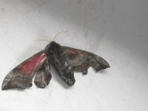Hawk Moth Pathology