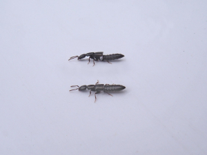 Staphylinid
