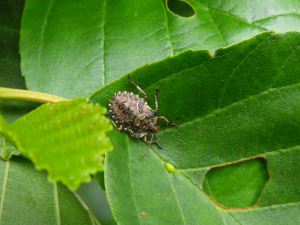 Forest Bug Nymph