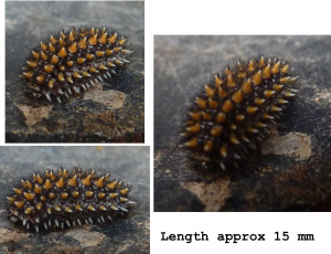 Spiky grub