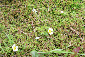 common water crowfoot by Tongham Pool