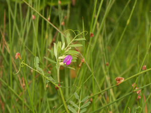 vetch in boggy grass area