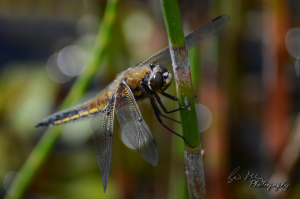 Common Darterfly