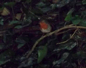 ROBIN (IN DARK UNDERGROWTH!)