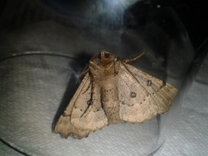 unidentified moth (small black ovals on wings)
