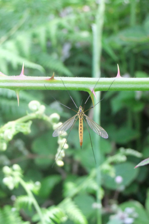 2014-06-17 Six-spotted cranefly