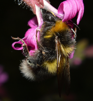 Garden Bumble Bee (Bombus hortorum)