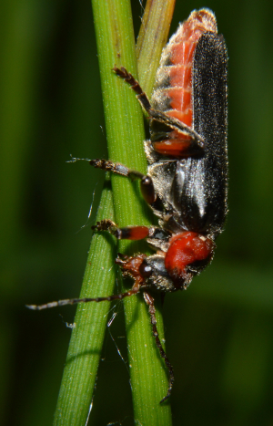 Rustic Sailor Beetle (Cantharis rustica)