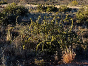 A thorny shrub in Karoo NP