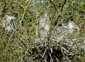 Heron chicks 1