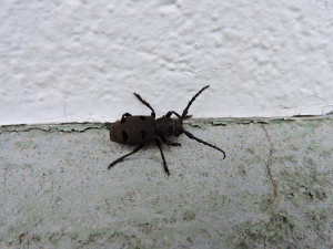 a beetle just over an inch long, please, help to identify, thanks