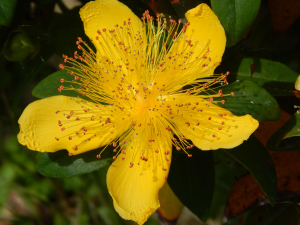 yellow flower with feathery stamen