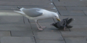 Seagull eats pigeon