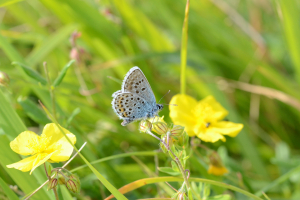 Silver studded Blue ?