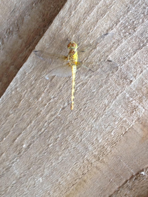 Dragonfly?