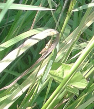 Grasshopper? Poor photo - sorry!