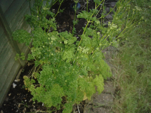 Garden Parsley
