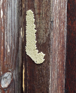 Insect eggs found on wooden fence post