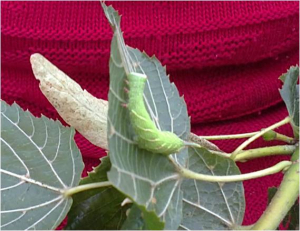 caterpillar on the lime tree