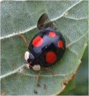 black ladybird with 4  red spots