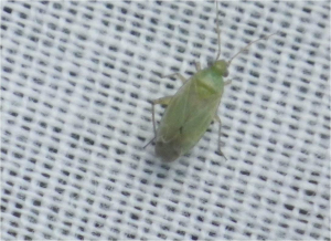 green bug from meadow