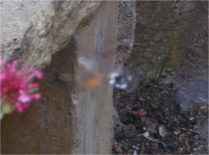 very bad photo of Humming-bird Hawk-moth