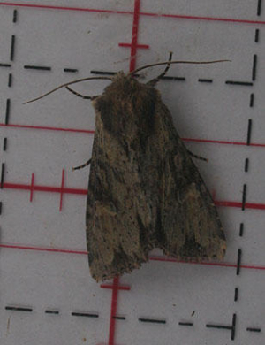 Clouded bordered brindle