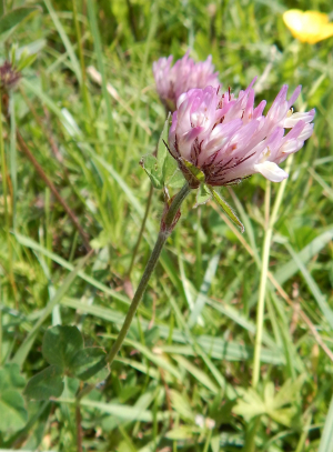 Red Clover?