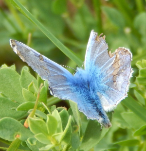 Worn & Torn Common Blue Butterfly