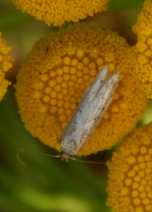 Moth on Tansy