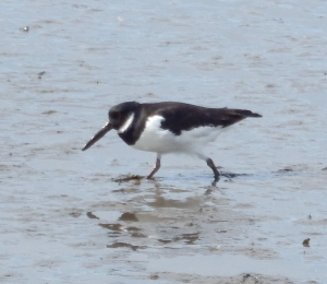 Oyster Catcher?