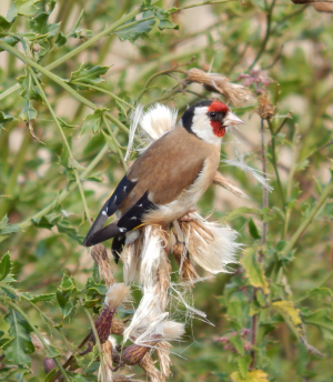 Goldfinch munching on Thistle Seeds
