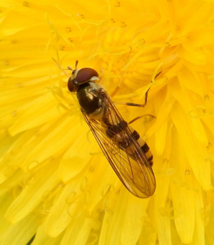 Hoverfly - Platycheirus?