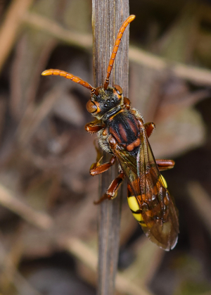 Solitary wasp?