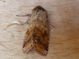 Mystery noctuid - think it should be obvious!