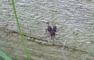 Small spider with prey