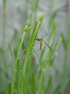 Crane fly - Daddy long legs