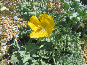 IMG_1615 Yellow Horned Poppy