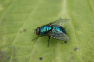 greenbottle (lucilia female)