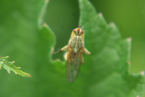 dung fly?