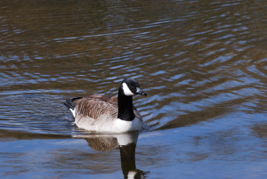Canada Goose With Ring