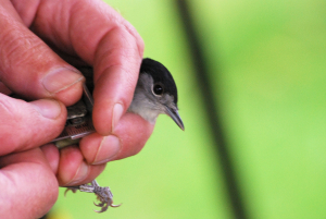Blackcap (male)