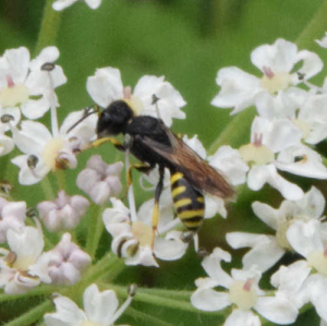 Wasp, probably Ectemnius