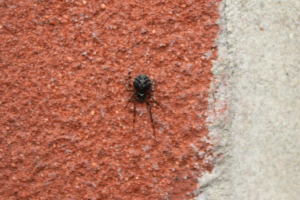small black spider