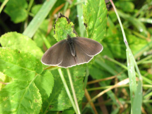 Ringlet (without rings ?)