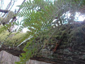 Fern (Probably Polypodium agg) with Spore Sacs