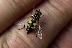 Striped Hoverfly