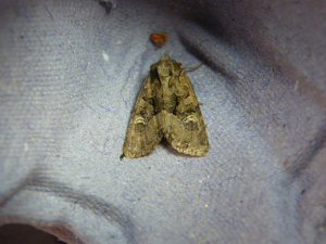 Flounced Rustic maybe?