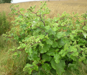 Burdock in arable field