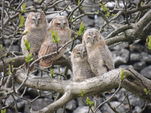 Recently fledged owls